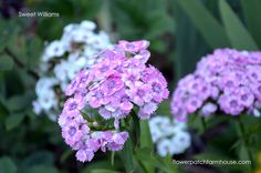 I love growing easy heirloom flowers in my cottage garden. Here is one favorite and How to Grow Sweet Williams!