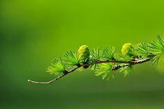 """Dzisiejsza """"drewniana"""" środa w wiosennym klimacie :) Czy wiedzieliście, że modrzew to nie tylko źródło drewna, ale także... jedzenia? ;) Wiosną na Syberii zbiera się młode igły modrzewi, które później poddawane są procesowi fermentacji i następnie spożywane zimą w postaci sałatek.   #Drewno #Drzewa #Ciekawostki"""
