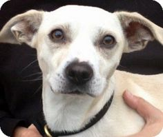 Cute sweet lovable TANNER needs a home! Great with dogs, great with people. He's a lover!!! ADOPT TANNER! http://www.adoptapet.com/pet/8169398-los-angeles-california-beagle-mix