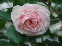 Rosa 'Marchioness of Londonderry' (U.K., 1893)