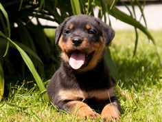 rottweiler wallpapers hd - Buscar con Google