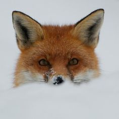Red fox in snow Beautiful Creatures, Animals Beautiful, Fox In Snow, Fuchs Baby, Baby Animals, Cute Animals, Animals In Snow, Wild Animals, Fuchs Illustration