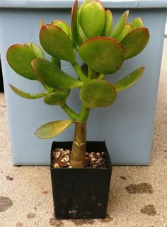 Crassula ovata Bonsai Jade Plant Money Dollar Tree Succulent
