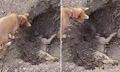 Heartbreaking moment a dog buries its friend after he was hit by car