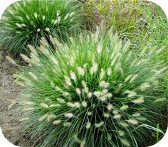 Pennisetum of Lampenpoetsersgras. Heb hem in ons vorige huis ook gehad. Grasses Landscaping, White Gardens, Lawn And Garden, Gorgeous Gardens, Evergreen Plants, Modern Landscaping, Outdoor Gardens, Landscaping With Rocks, Landscape