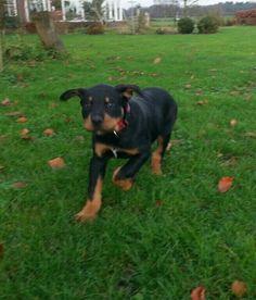 Dolly# Rottweiler x Boerboel 12 weeks