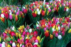 tulips... tulips... tulips...