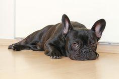 Egy francia bulldog és gazdái története: Sztereotípia vagy igazság?