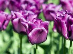 Some purple tulips.