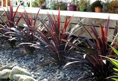 Cordyline Renegade will be a real thriller in your container garden or landscape.