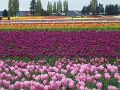 Anacortes, WA (Tulip Fields) - someday I will make it for the Tulip Festival! Places To Travel, Places To See, Places Ive Been, Pacific Coast, Pacific Northwest, Anacortes Washington, Tulip Festival, Tulip Fields, San Juan Islands