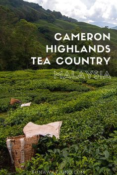 Visiting the Cameron Highlands is like going to the Vatican City as a Catholic. For a big tea drinker like me, it was heavenly to see all the tea plants. Places To Travel, Travel Destinations, Travel Tips, Cameron Highlands, Vatican City, Running Away, Asia Travel, Middle East, Heavenly