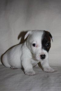 Jack Russell a month old - My Bolt