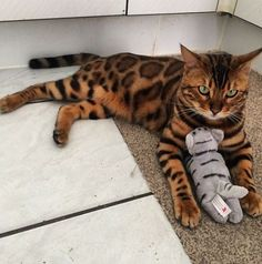 Si te gustan los gatos te vas a enamorar de Thor, un minino de ojos verdes y pelaje de ensueño que arrasa en Instagram. ¿No te parece el gato más bonito que hayas visto nunca? #gato #cat #pets #animal