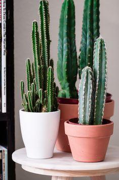 San Pedro (Echinopsis pachanoi) cacti.