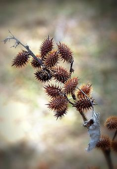 seed pods by umla Fruit Seeds, Seed Pods, Autumn Garden, Water Slides, Planting Seeds, Nature Photos, Autumn Leaves, Soft Autumn, Mother Nature