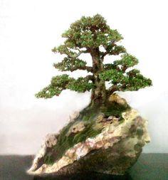 Unusual bonsai tree in a rock