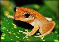 El Coqui de Puerto Rico, The Puerto Rican Frog. I will never forget ...