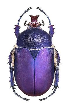 Brachymitra bayeri. I shall call it the Regal Beetle!