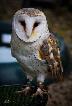 Plop - Barn Owl  Shot at World of Wings exhibit, Edinburgh #wowza