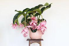 Je ne cesse de vous la montrer sur Instagram tant je l'aime: avec ses grandes feuilles gaufrées et ses sublimes grappes de fleurs rose tendre, ma medinilla magnifica est devenue LA vedette de ma collection végétale depuis que je me la suis offerte à la fin du mois de septembre dernier, et le rayon deLire la suite…