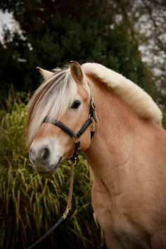 Fjord Horse - from Silver Drache Horse Farm in Indianapolis, Indiana. Cute Horses, Pretty Horses, Horse Love, Most Beautiful Horses, Animals Beautiful, Cute Animals, Barn Animals, Fjord Horse, Horse Farms