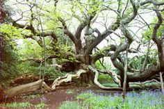 This sweet chestnut tree was reputedly planted to commemorate Prince Authur's proxy wedding with Katherine of Aragon which occurred on Whit Sunday, 19 May 1499 at Tickenhall Manor in Bewdley, Worcestershire. Tickenhall Manor no longer exists but the tree which grew unchecked measures a  girth of 33 feet 8 inches and spreads over a quarter acre. One branch elbow touches the ground 44 feet from the tree base while another branch reaches 77 feet.