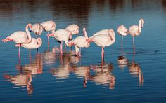 The Camargue flamingos: 20 to observe animals in their natural state in France - In the Camargue, is one of the largest colonies of flamingos. One can see particularly at the pond Fangassier, breeding of the species. Numerous other hikes are possible on the site of the Camargue, classified a Regional Park. © Fotolia - thier
