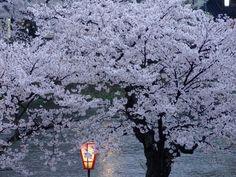 金沢 浅野川 2016年4月4日 夕暮れの桜 Kanazawa, Scenery, Snow, Japan, Outdoor, Outdoors, Landscape, Outdoor Games, Paisajes