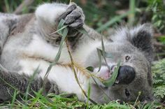 Love Koalas