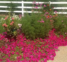 Fresh Flowers In The Outside Garden That Were Germinated From Seed.  Zinnias, Cosmos,