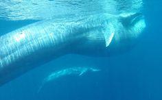 定説を覆す、異例だらけの新種クジラの生態 | ナショナルジオグラフィック日本版サイト