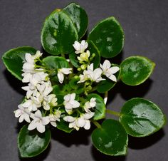 Optimara Little Crystal:  This is a Miniature variety. The leaves are plain in shape. They are medium green in color.  The flowers are white in color. They are semidouble in type. The plant was hybridized by Holtkamp in 1990.