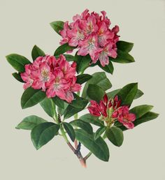 Rhododendron - rododendron