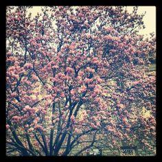 Magnolia #Firenze #Piazza Beccaria