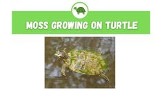 Why is There Moss Growing on My Turtle? – The Turtle Expert Turtle Care, Growing Moss, Helping Cleaning