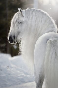 Gorgeous white horse with long whtte wavy mane  in the snow. Magical horse photography! Breathtaking beauty! ~ PRE, photo by Emmy Eriksson