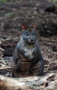 Wallaby at Healesville Sanctuary, Yarra Valley: http://livesharetravel.com/16654/yarra-valleys-treats/ #MelbourneTouring