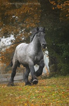 Blue Roan Draft Horse - this might actually be my dream horse. Perfect since I've always had a thing for big horses!