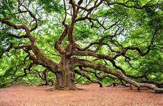 Angel Oak Tree of Charleston, (John's Island) South Carolina. Umea, Cheap Things To Do, Stuff To Do, Best Charleston Restaurants, Charleston Sc, Charleston Attractions, Buckeye Tree, Angel Oak Trees, Tree Angel