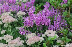 Physostegia virginiana with Sedum 'Autumn Joy'; Janet Davis at The Paintbox Garden