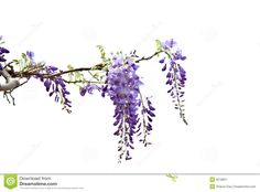Wisteria - Download From Over 58 Million High Quality Stock Photos, Images, Vectors. Sign up for FREE today. Image: 9518821