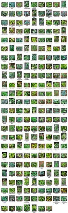 Hostas - Image Gallery & Description with Price List Garden Shrubs, Landscaping Plants, Shade Garden, Garden Plants, Hosta Plants, Shade Plants, Shade Perennials, Garden Yard Ideas, Lawn And Garden