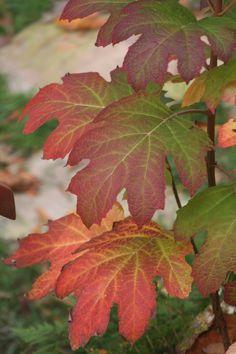 Hydrangea quercifolia 'Snow Queen' Dry Shade Plants, Planting, Gardening, Hydrangea Quercifolia, Woodland Garden, Snow Queen, Beautiful Gardens, Shrubs, Armour