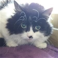 Pebbles - Cat Rehoming & Adoption - Wood Green Animals Charity