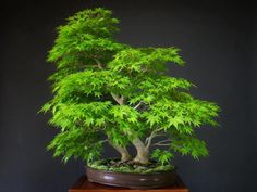 Bonsai, looks like some kind of a maple tree