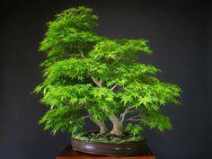 Bonsai, looks like some kind of a maple tree