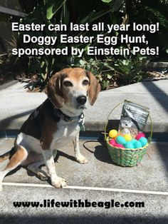 Now is a great time to create an easy nosework game for your dog! Get some Easter eggs at the store and try this egg hunt, plus enter to win a free bag of Einstein Pets cookies! #ad