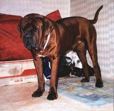 Korean Mastiff Dosa, dogs, puppies, breeders, Kennels http://www ...