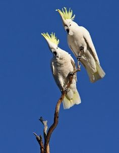 Very noisy garden visitors - Sulpher crested cockatoos
